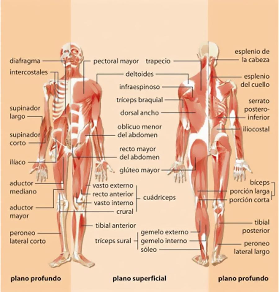 Asombroso Partes Del Cuerpo Externo Imagen - Imágenes de Anatomía ...